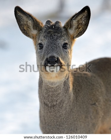 Portrait of a Roebuck in winter