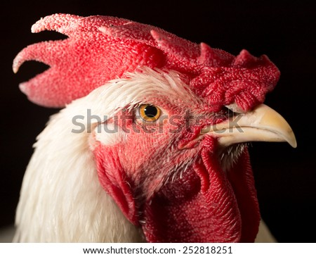 portrait of a rooster - stock photo