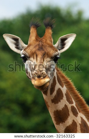 Portrait of a Rothschild Giraffe in front of green trees