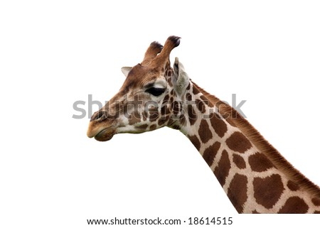 portrait of a Rothschild Giraffe released from the background