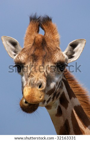 Portrait of a 	Rothschild Giraffe with his head high in the sky