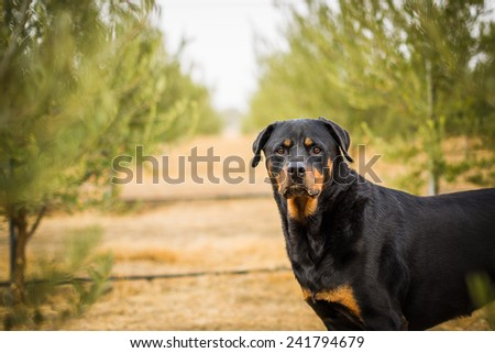 Portrait of a Rottweiler looking right at camera standing in an olive grove