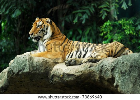 Portrait of a Royal Bengal tiger sit on the rock - stock photo