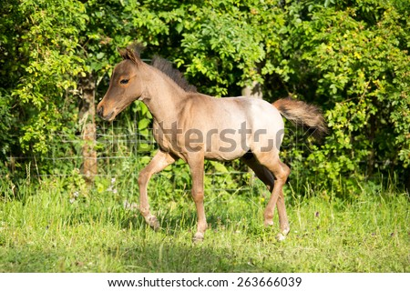 Portrait of a running American Miniature Horse - stock photo