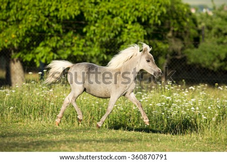 Portrait of a running American Miniature Horse foal - stock photo