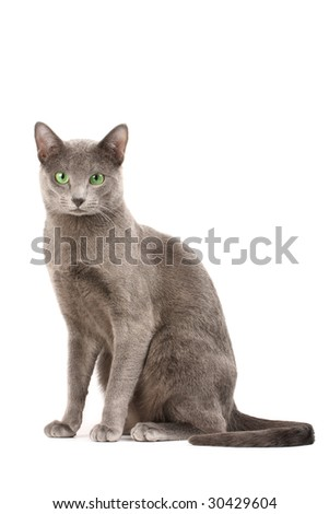 Portrait of a russian blue cat - stock photo