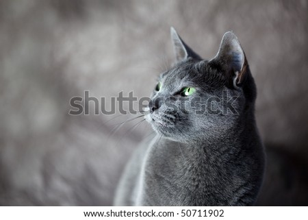 Portrait of a Russian Blue Cat, studio shot