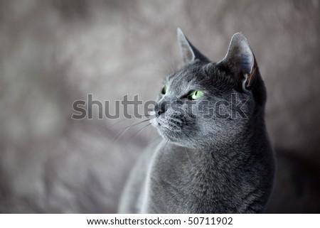 Portrait of a Russian Blue Cat, studio shot - stock photo
