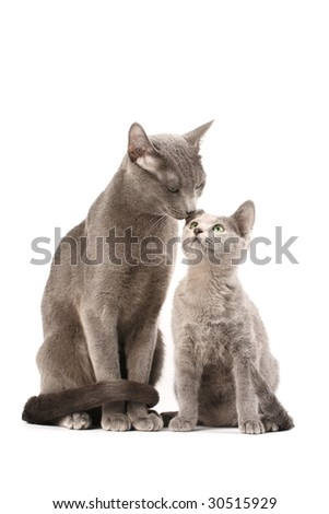 Portrait of a russian blue cats family. - stock photo