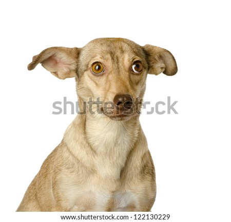 portrait of a sad dog. looking at camera. isolated on white background - stock photo
