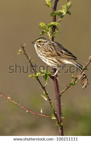 Portrait of a Savannah Sparrow (Passerculus sandwichensis). - stock photo