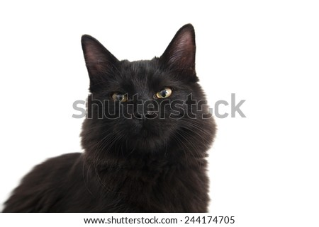 Portrait of a scary black cat against a white background - stock photo