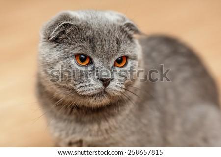 Portrait of a scottish fold breed blue cat - stock photo