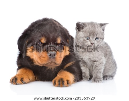 portrait of a scottish kitten and rottweiler puppy. Isolated on white background - stock photo