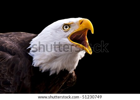 Portrait of a screaming Bald Eagle (Haliaeetus leucocephalus) - stock photo