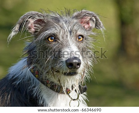 portrait of a scruffy and comical, but beautiful looking mixed breed deer hound, lurcher dog - stock photo