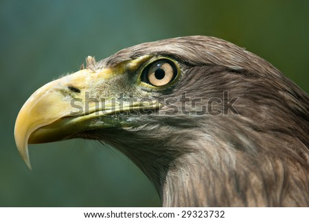 Portrait of a sea eagle (lat. Haliaeetus albicilla) with green background