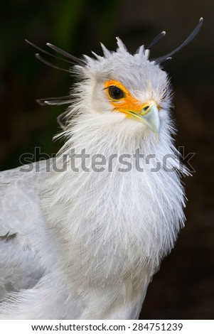 Portrait of a Secretary Bird of Prey with orange face and beautiful crested feathers - stock photo
