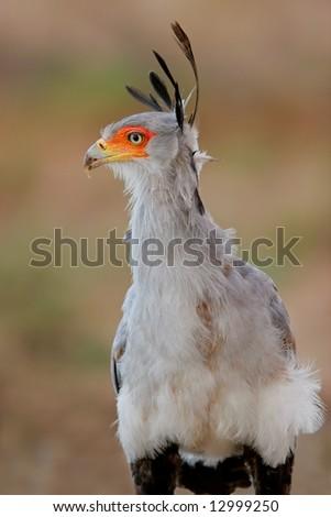 Portrait of a secretary bird (Sagittarius serpentarius), Kalahari desert, South Africa - stock photo