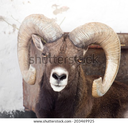 portrait of a sheep with horns - stock photo