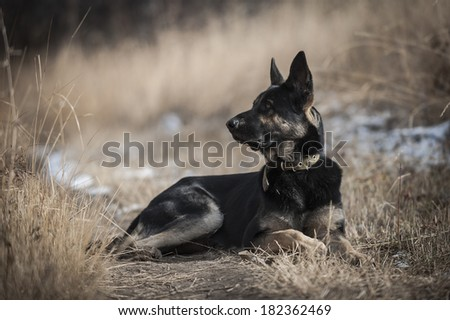 Portrait of a shepherd dog laying on dry grass looking sideways - stock photo