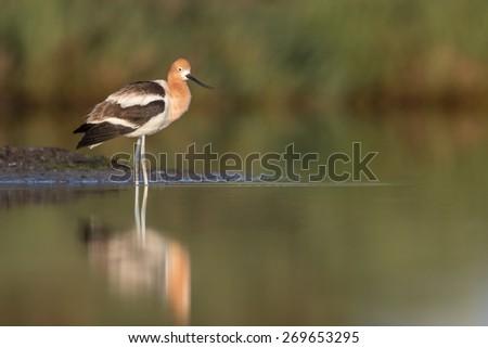 Portrait of a Shorebird - stock photo
