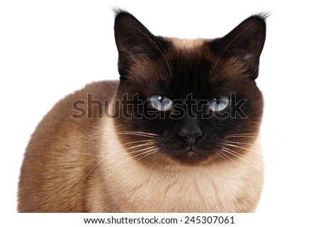 portrait of a siamese cat in seal point with blue eyes - stock photo