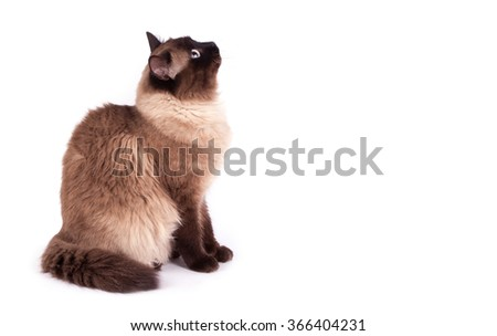 Portrait of a Siamese cat on a white background - stock photo