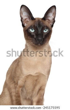 Portrait of a Siamese Oriental cat isolated on white background - stock photo