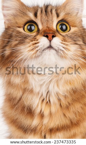 Portrait of a siberian beautiful adult cat isolated on a white background