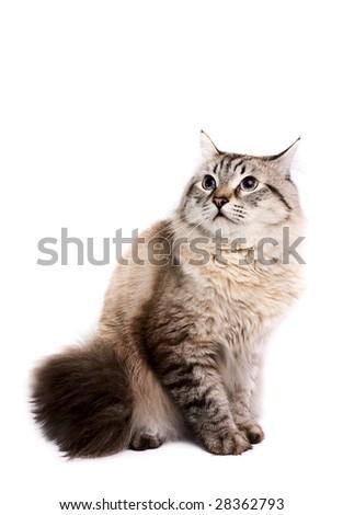 Portrait of a Siberian Cat on a white background. Studio shot. - stock photo