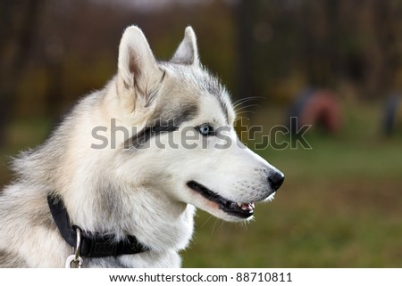 Portrait of a Siberian Husky dog outdoors