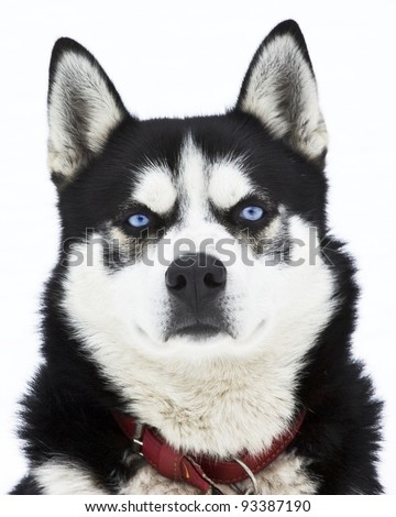 Portrait of a siberian Husky isolated on white - stock photo
