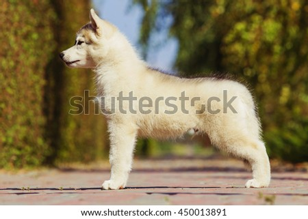 Portrait of a Siberian Husky puppy walking in the yard. One Little cute puppy of Siberian husky dog outdoors. Puppy in the exhibition stand. - stock photo