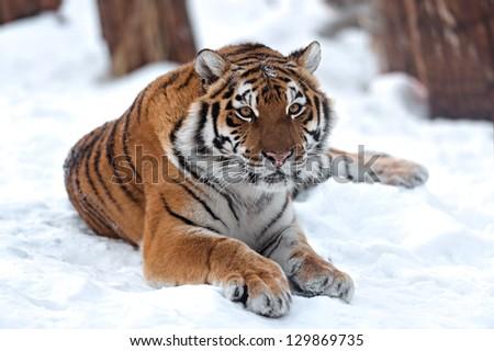 Portrait of a Siberian Tiger - stock photo