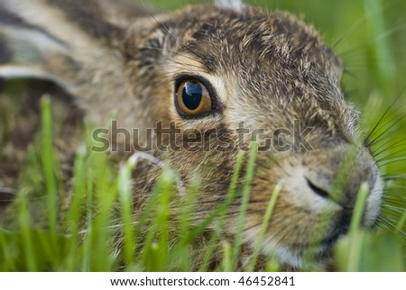 Portrait of a sitting brown hare (lepus europaeus)