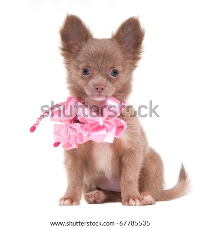 Portrait of a sitting Chihuahua puppy with pink ribbons on its neck - stock photo