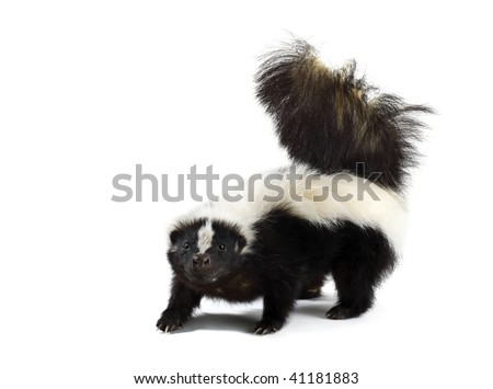 Portrait of a Skunk - stock photo