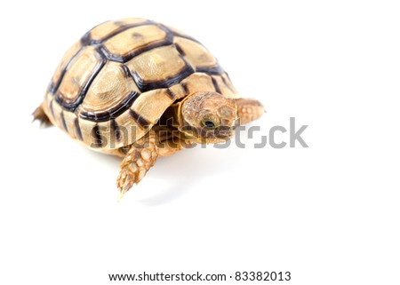 Portrait of a small steppe tortoise on white background - stock photo