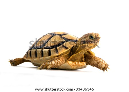 Portrait of a small steppe tortoise on white background