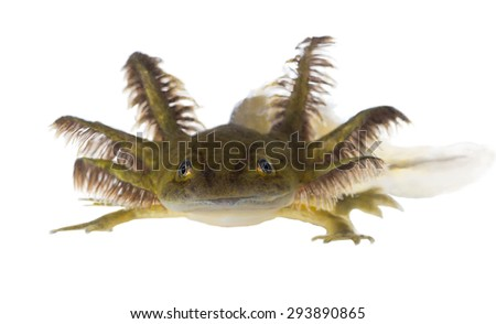Portrait of a smiling Axolotls are members of the Ambystoma tigrinum (Tiger salamander) - stock photo