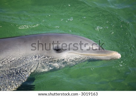 portrait of a smiling dolphin at the Caribbean sea - stock photo