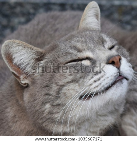 portrait of a smiling gray cat