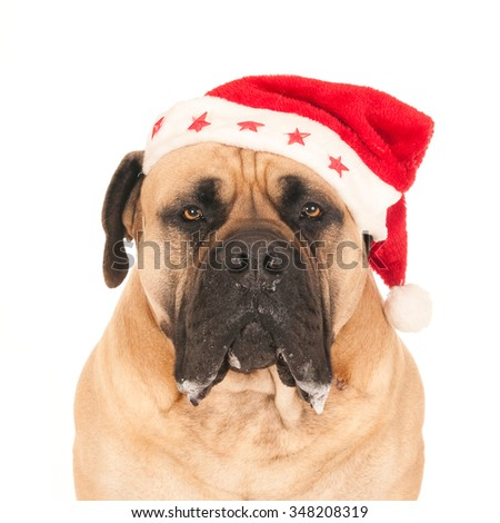 Portrait of a South African mastiff dog (boerboel) with a Santa hat, looking at camera, portrayed against a white background  - stock photo