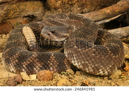 Portrait of a Southern Pacific Rattlesnake (Crotalus viridis helleri). - stock photo