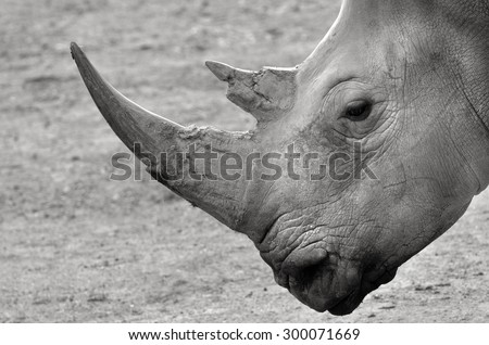 Portrait of a Southern White Rhinoceros. copy space (BW) critically endangered. - stock photo
