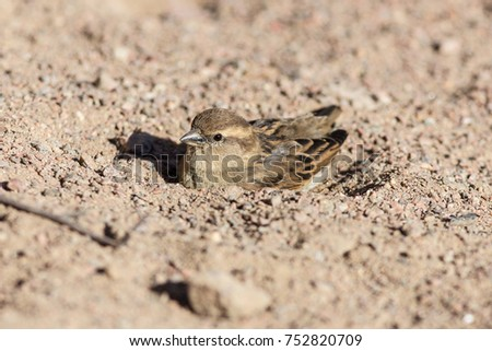 portrait of a sparrow in a sand pit