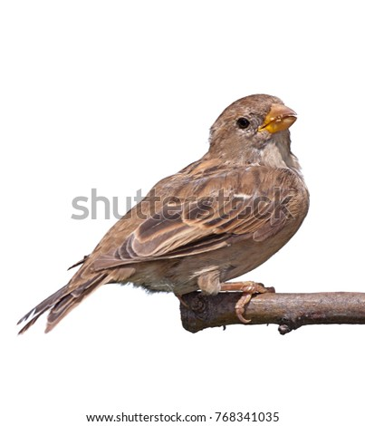 Portrait of a sparrow perched on a branch. the bird has the remnants of previously eaten seed in its beak. On a white background