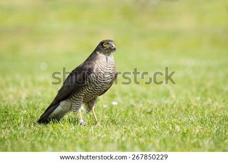 Portrait of a Sparrowhawk (Accipiter nisus) in the grass - stock photo