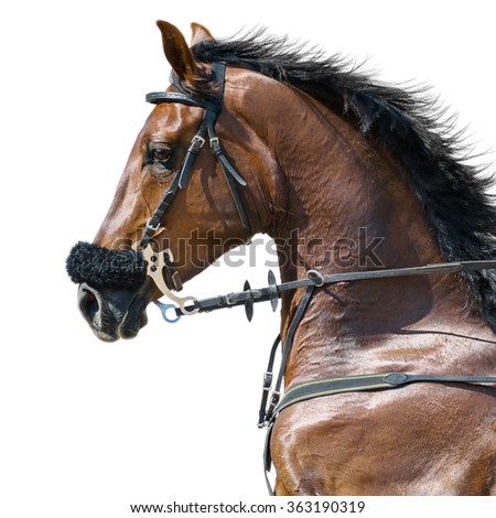 Portrait of a sports stallion in a hackamore on white background